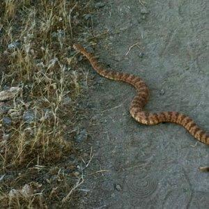 trail-running-hazards-snake-venomous