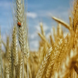cornfield-wheat-field-wheat-cereals-65604