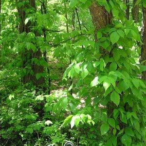 trail-running-hazards-poison-ivy